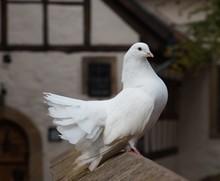 Elegant White Fantail Pigeon P...