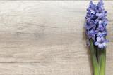 Fototapeta Kwiaty - Niebieski Hiacynt na drewnianej desce