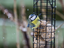 Blue Tit Sitting On Bird Feeder With Fat Balls While Its Snowing
