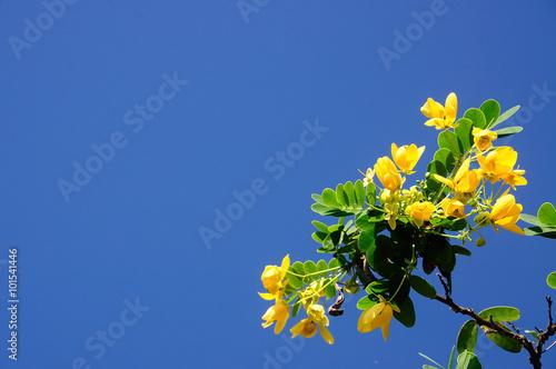 Carta da parati Senna spectabilis with blue sky in Thailand
