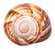 Spiral Mollusc Shell Of Land Snail Isolated