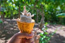 Cocoa Fruit Inside