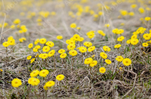 Valokuva  Coltsfoot flower, spring meadow