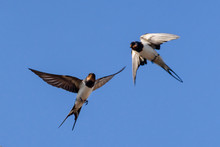 Swallow On Sky Background