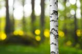 trunk of birch tree in beautiful evening light - 101576646