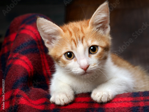 Portrait of a kitten with amazing yellow eyes. The kitten is