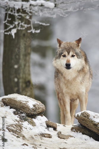 Photo  Wolf im Winter