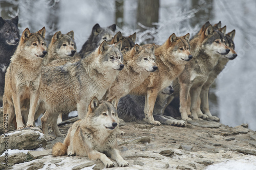 Wolfsrudel im Winter Canvas Print