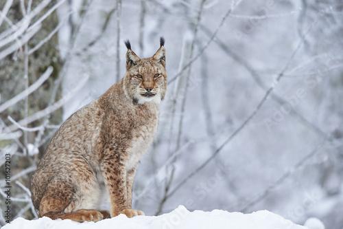 Foto op Canvas Lynx Eurasischer Luchs im Schnee