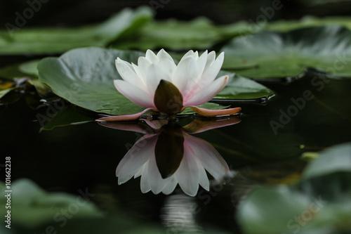 Obraz lilia wodna lilia-na-wodzie