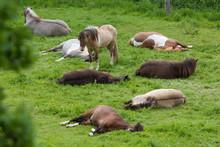 Schlafende Pferde Auf Der Weide