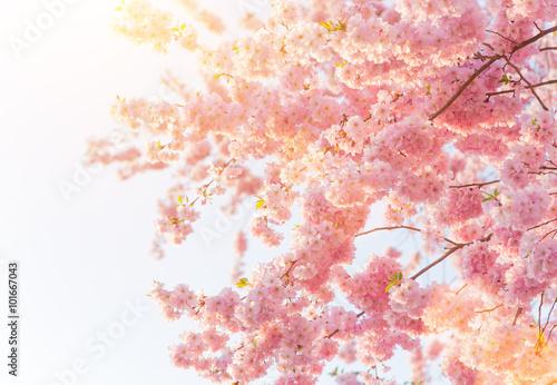 Zdjęcie XXL Wiosna granicy tło z różowy kwiat