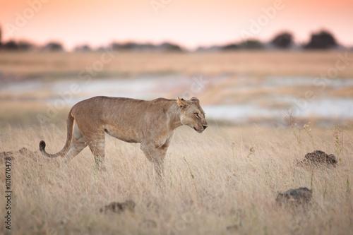 Foto  Lioness in bushveld