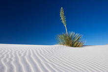 Yucca Plant At White Sands National Monument