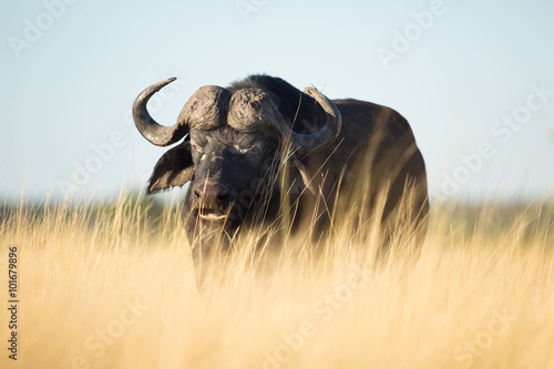 Buffalo in Bushveld