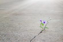 Purple Flowers Growing On Crack Street, Soft Focus, Blank Text
