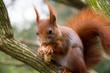 Eichhörnchen knabbert an Nuss
