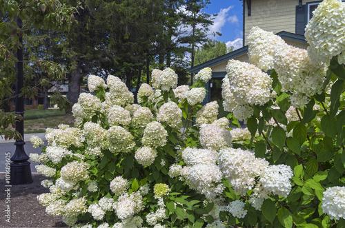 Foto auf Gartenposter Hortensie Bush of blooming white hydrangea
