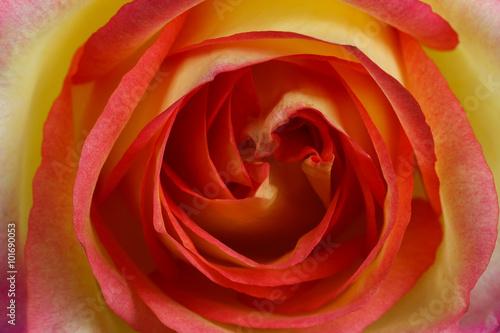 Fototapety, obrazy: Beautiful orange rose close up
