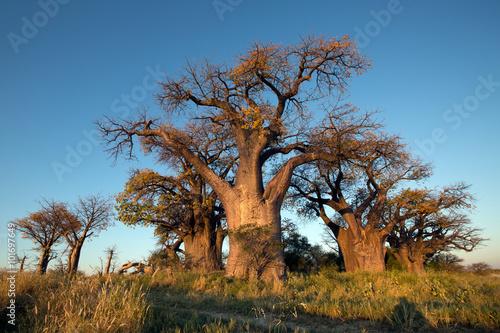 Keuken foto achterwand Baobab Baines Baobab