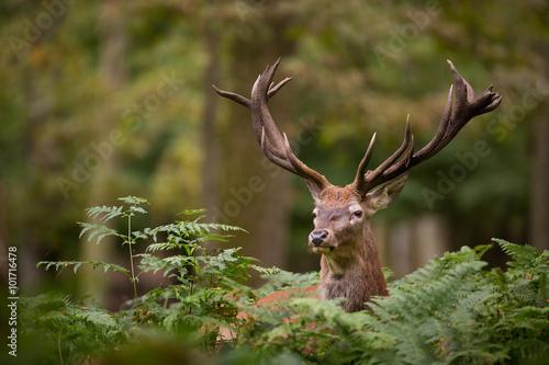 Poster Cerf cerf brame cervidé mammifère roi forêt bois cor chasse sauvag