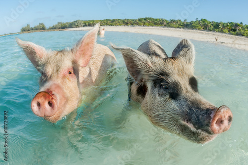 Fotografie, Obraz  Two pigs swimming in the Bahamas