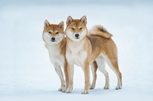 Two Red Siba Inu Dogs Standing...