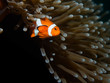 Coral Reef Clownfish