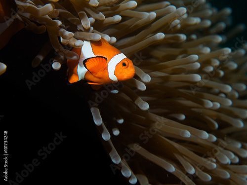 Plakat  Coral Reef Clownfish