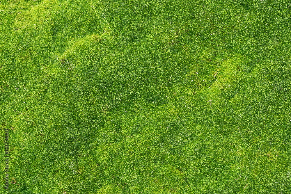 Fototapety, obrazy: green moss for background texture