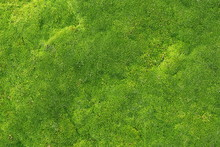 Green Moss For Background Text...
