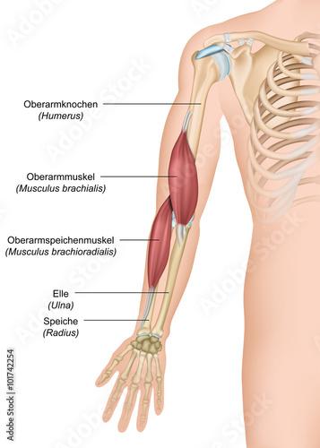 Anatomie Musculus brachialis ,- brachioradialis – kaufen Sie diese ...