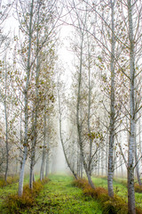 Fototapeta Drzewa arboles paralelos III
