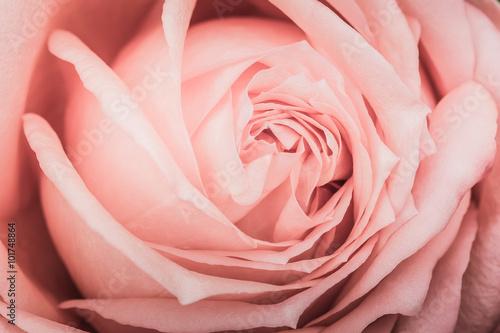 Foto  Closeup of a pink rose