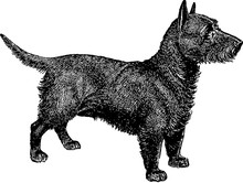 Vintage Image Scottish Terrier