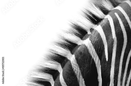 zebra neck detail