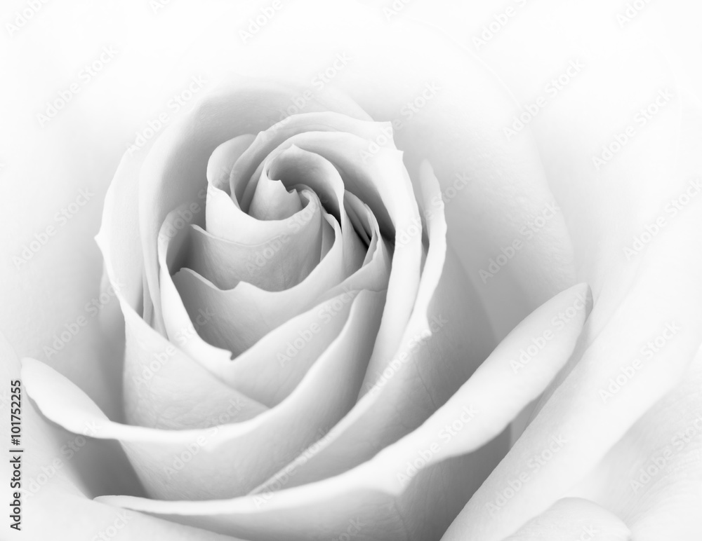 Fototapety, obrazy: Black and White Close up Image of Beautiful Pink Rose. Flower Background