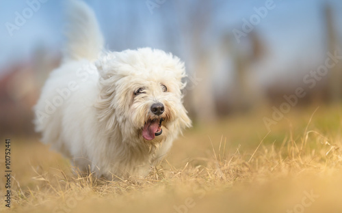 Fotografia, Obraz  White Long Haired Dog in run - Coton de Tulear