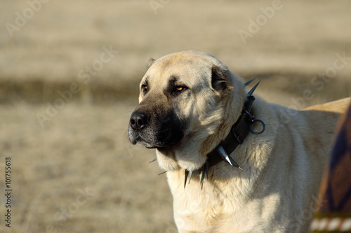 Anadolu Çoban Köpeği Poster