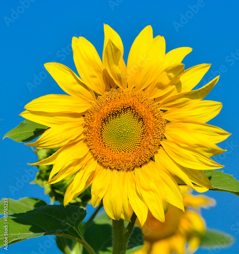 Sunflower and the sky - 101765233