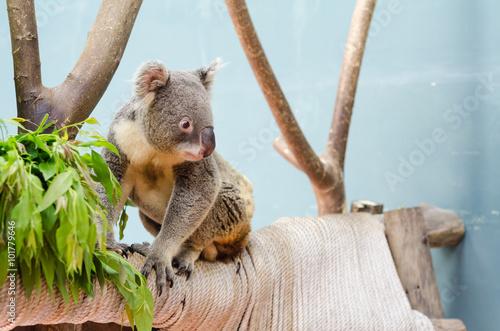 Garden Poster Koala koala on branch in safari