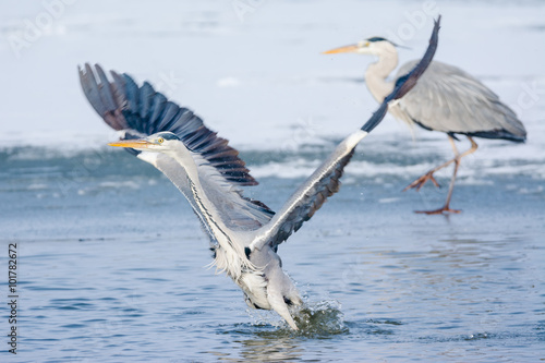 Fotografie, Tablou Grey Heron standing in the snow, a cold winter day
