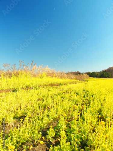 Deurstickers Geel 菜の花咲く風景