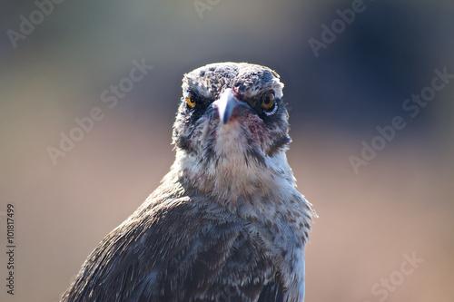 Photo Galapagos Mockingbird (Mimus parvulus) looking straight at the camera