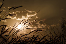 Fountain Grass Flower On Sunset With Cloudy Sky Background. Sepi