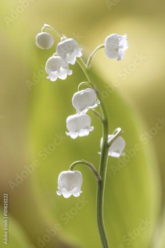 Staande foto Lelietje van dalen Lily of the valley