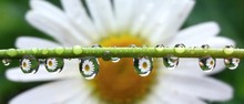 Detail Of Rain Droplets With Reflected Daisy Flower