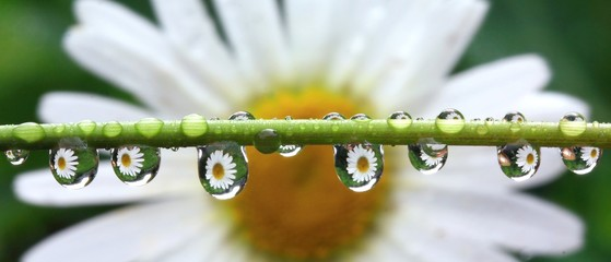 Naklejka Popularne Detail of rain droplets with reflected daisy flower
