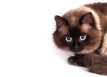 Portrait Of A Siamese Cat