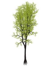 Outeniqua Yellowwood Tree, Pod...